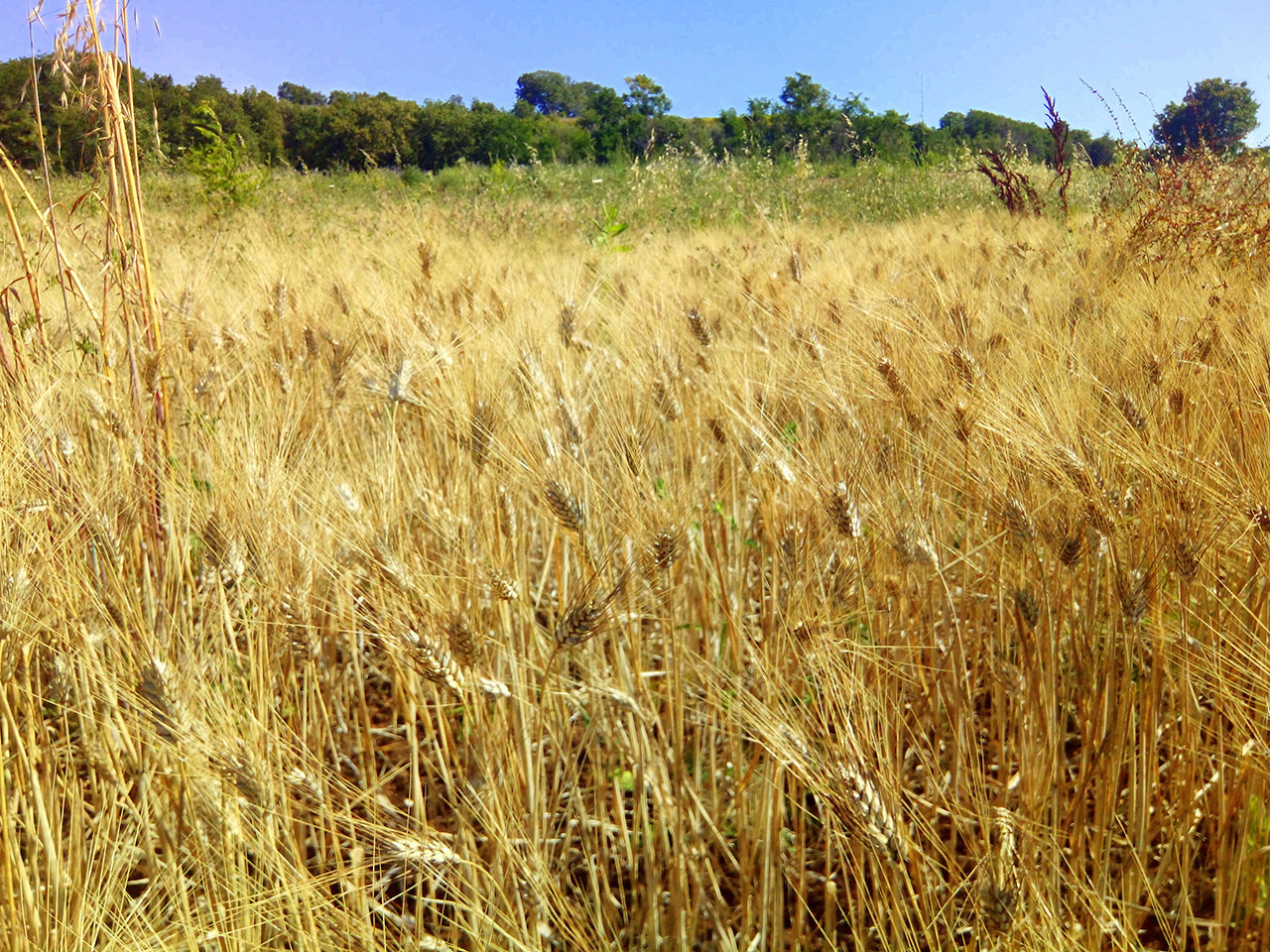Prima trebbiatura di grano antico varietà Scorzonera