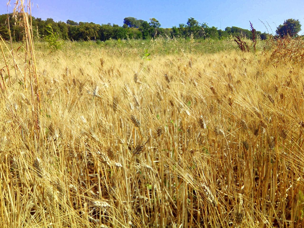 First threshing of the ancient Scorzonera wheat variety